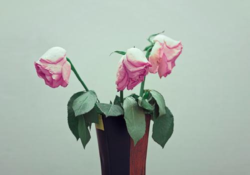 dode rozen