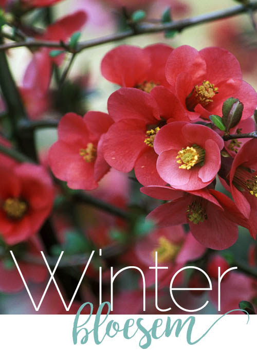 f4_willemijn_winterbloesem_hp