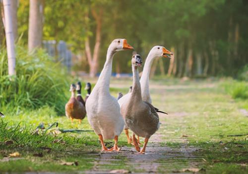 ganzen lopen op pad